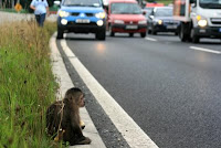 monkey traffic