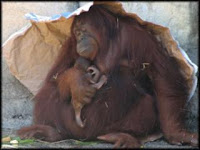 dee dee newborn orangutan