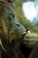 djambe orangutan