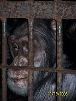 chimp rescued