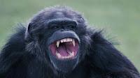 chimp revenge