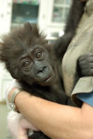 injured baby gorilla misha