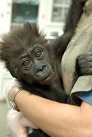 injured baby gorilla misha