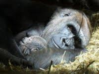 /baby gorilla sleeping