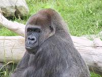 muke gorilla