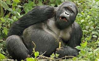 drunk gorilla