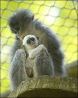 grizzled leaf monkey