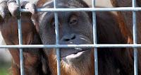 ujian whistling orangutan