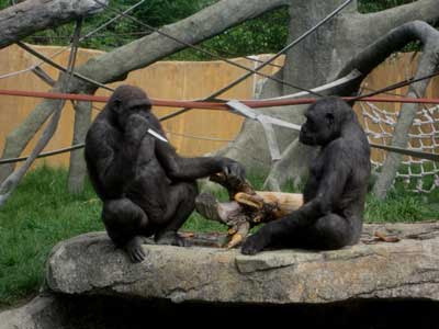 gorilla brings a banana to a knife fight