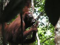 orangutan kiss squeak leaf