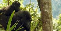 gorilla tracking