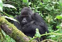 gorilla titus