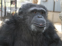 fif the chimp
