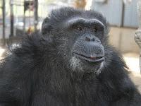 fif the chimp