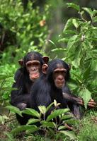 wild chimp culture