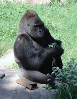 gorilla dies