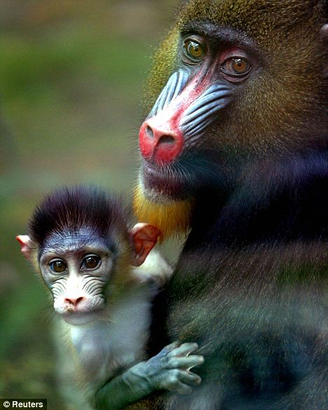 a study on the mandrill monkey from congo and nigeria The drill is a short-tailed monkey up to 70 cm (28 in) long, similar in appearance to the mandrill, but lacks the bright blue and red on the face of that species it.