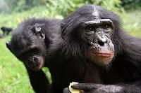chimp bonobo study
