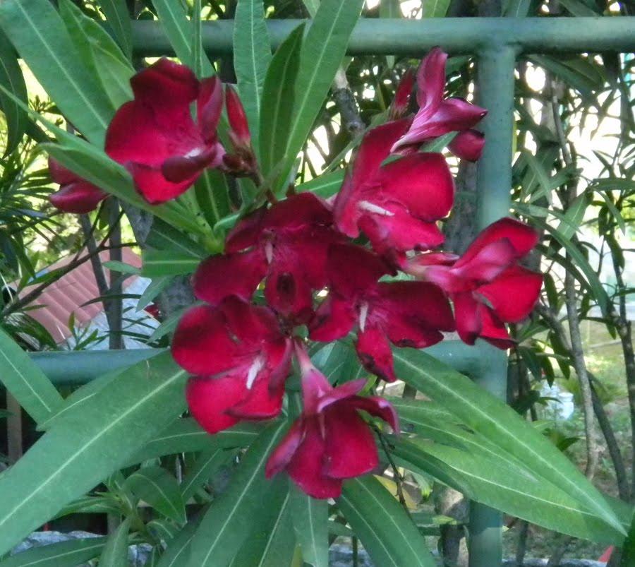 Merula micans au jardin de mon p re les lauriers sont fleuris for Au jardin de mon pere