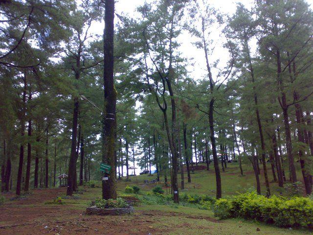 Pohon-pohon pinus di Kawasan Wisata Puncak Malino