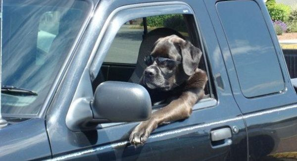 Cool_Driving_Dog.jpg
