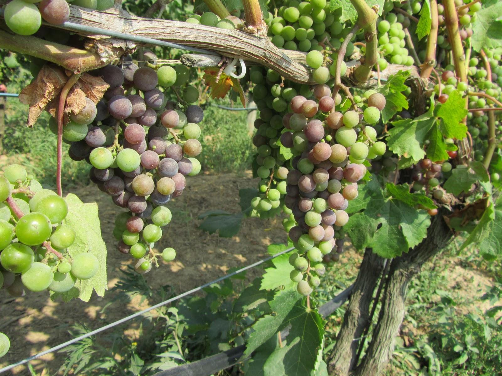images of grape vines - photo #25