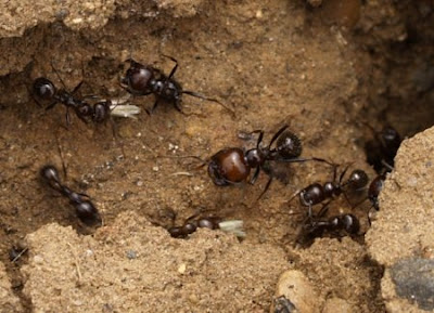 Resultat d'imatges de formigues