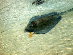 A Ray eating one of our bait fish