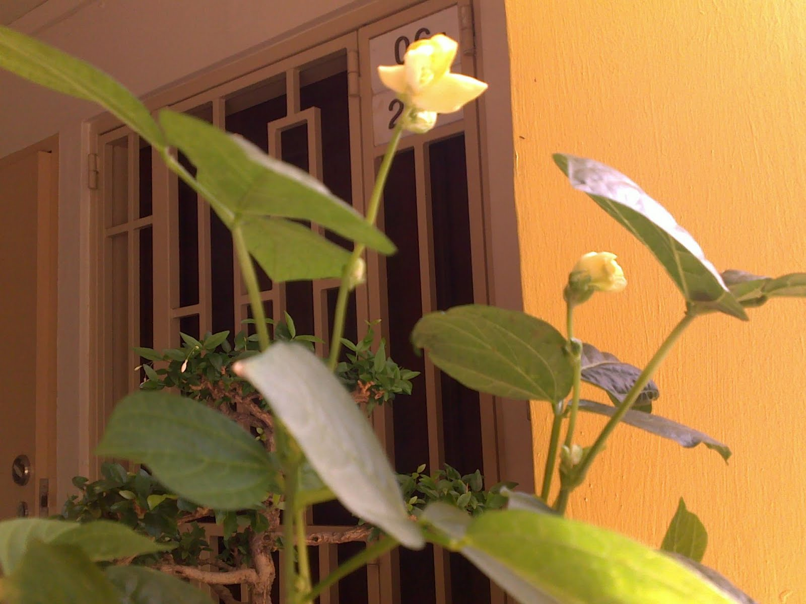 Lenas diary red bean plant too close up cannot see the petals of the flowers well notice the heart shaped leaves of the red bean plant green bean plant is of another shape try mightylinksfo