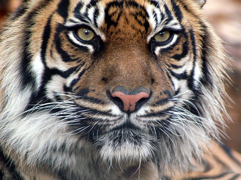 Royal bengal tiger is a great wallpaper for your computer desktop and - White Tiger Wallpaper White Tiger Wallpaper White Tiger Wallpaper 1080p White Tiger Wallpaper Android White Tiger Wallpaper Download White Ti
