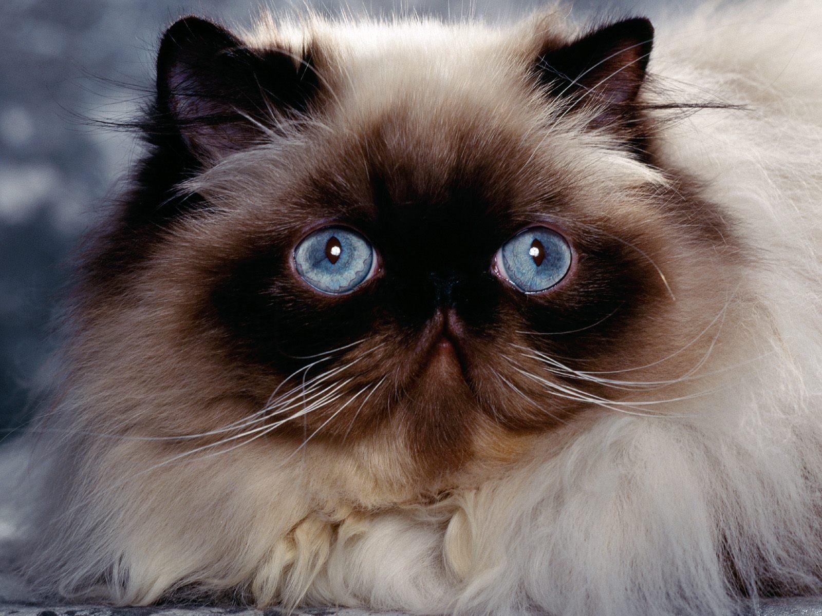 http://3.bp.blogspot.com/_-mY2ck9YCeE/TSxdnJ-E3xI/AAAAAAAADCQ/7EAaBQzHMPg/s1600/Himalayan_Persian_Cat.jpg