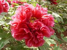 Paeonia Vermelha