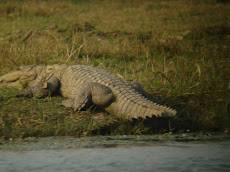 Crocodile in River Banas in Ranthambhore
