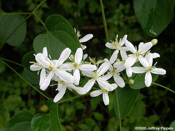 Clematis Terniflorataking Care Of Clematis Vines Northern
