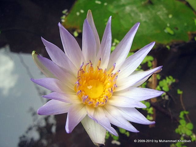 light blue waterlily careaula