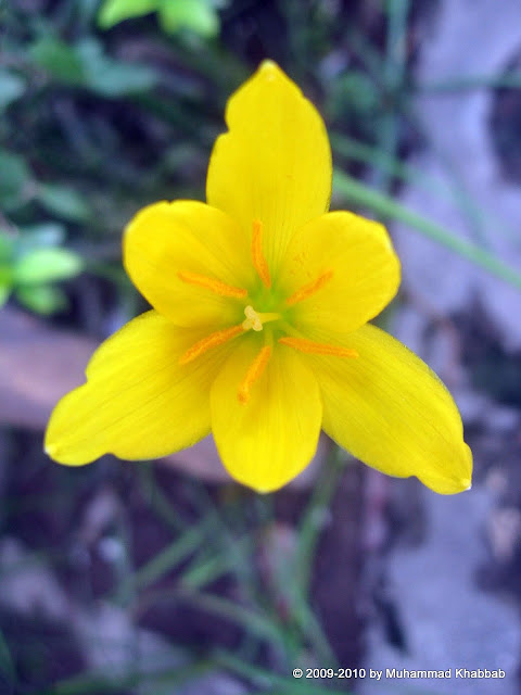 yellow rain lily zephyranthes citrina