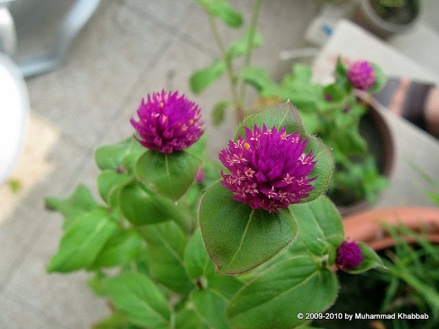gomphrena bachelor button