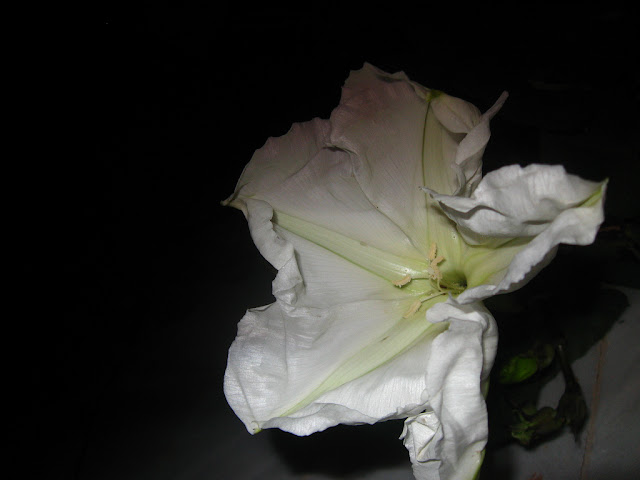ipomoea alba moon flower lahore