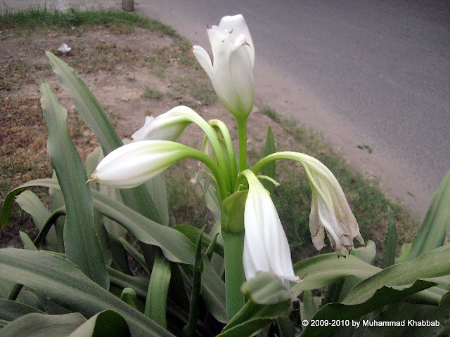 white crinum lily milk and wine lily