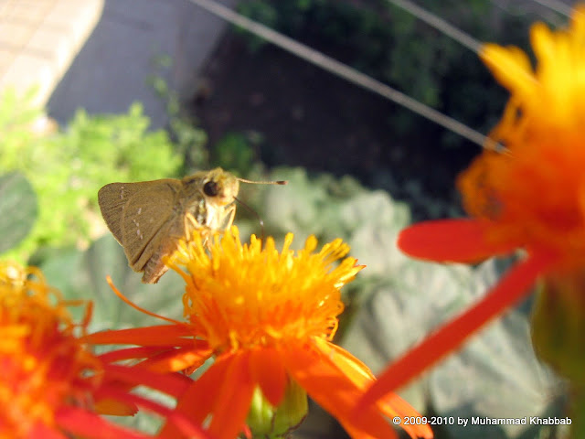 butterfly on senecio flower