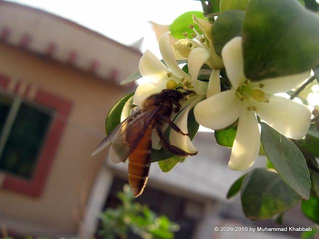 butterfly marva flower in pot