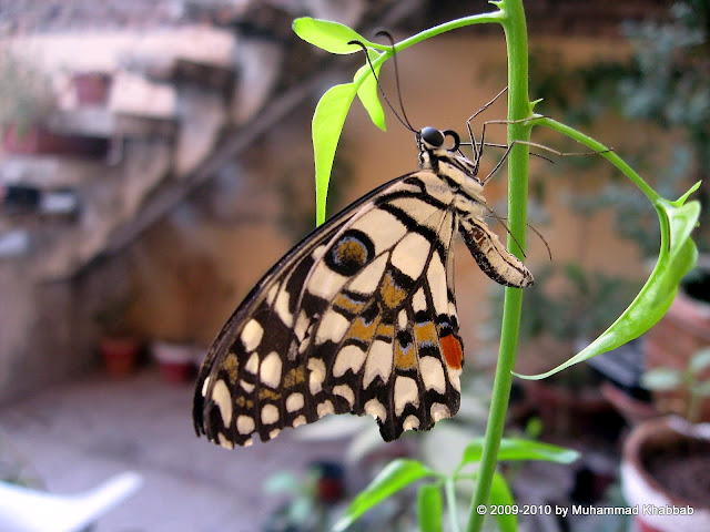 common lime butterfly on terrace