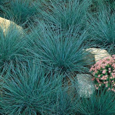 Ghetto gardens ornamental grasses for Blue decorative grass