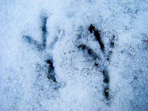 Bird footprints in snow