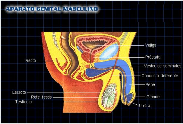 anatomia genital: ANATOMIA GENITAL