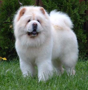 Chow Chow Puppies on Chow Chow   Top Dogs And Puppies