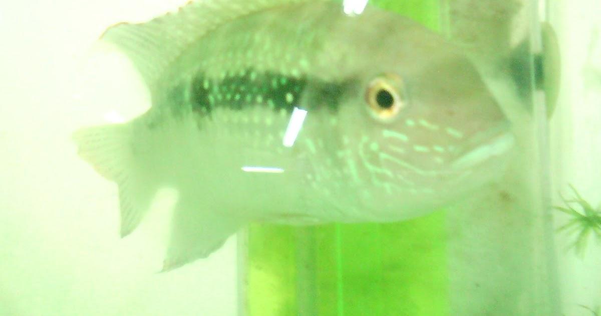 Blog acuicola cbc laboratorio acuicola en el c b c for Reproduccion de peces ornamentales