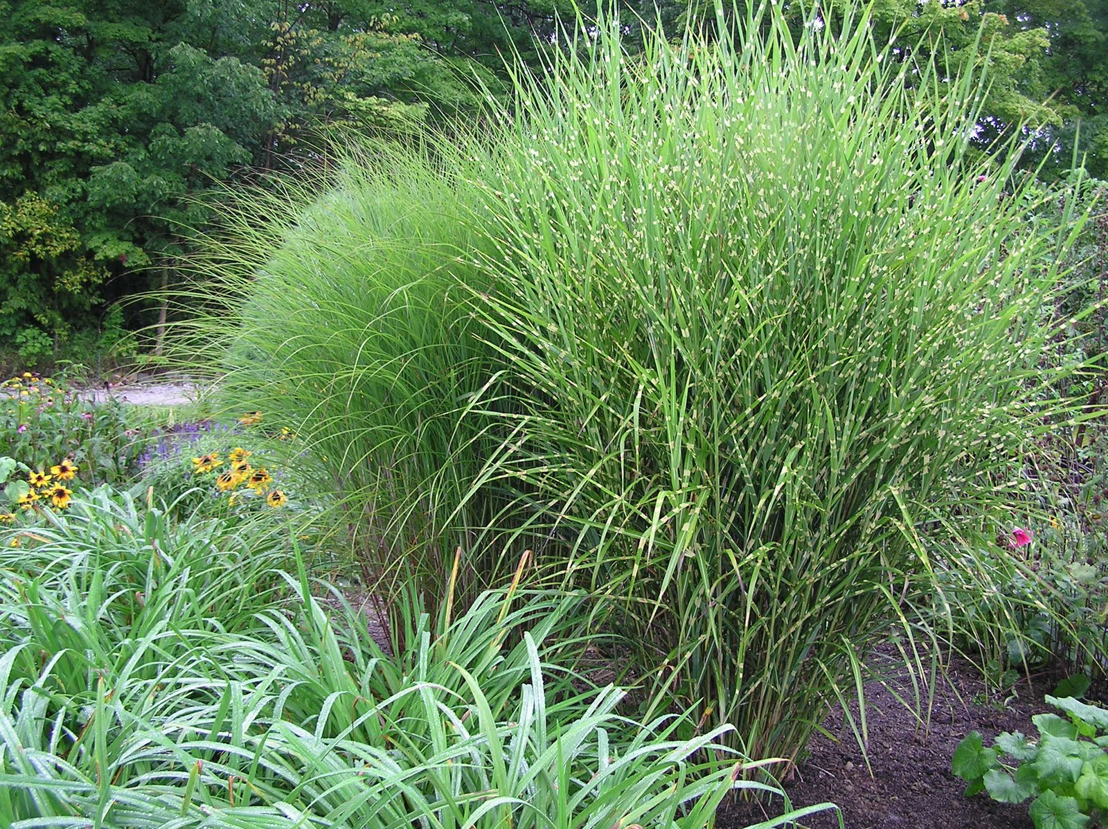 Serendipity gardener for Landscaping with zebra grass