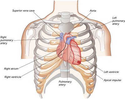 heart chest and its parts