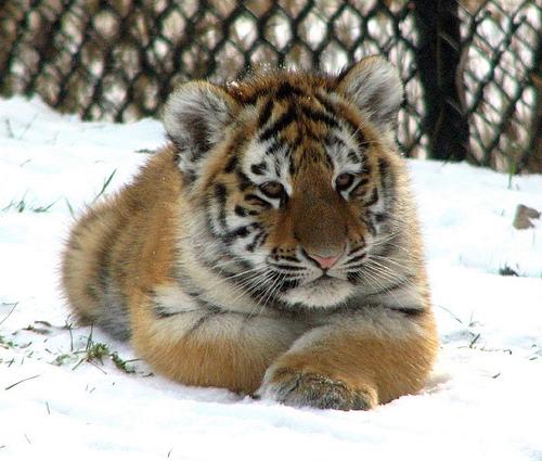 Siberian (Amur) Tiger: Poem about tiger cub Cute Siberian Tiger Cubs